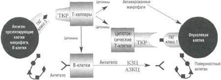 Механизм распознавания раковых клеток