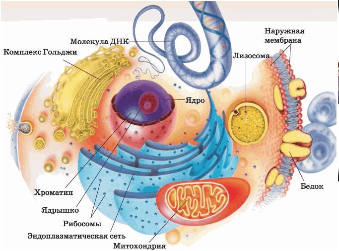 Строение клетки человека